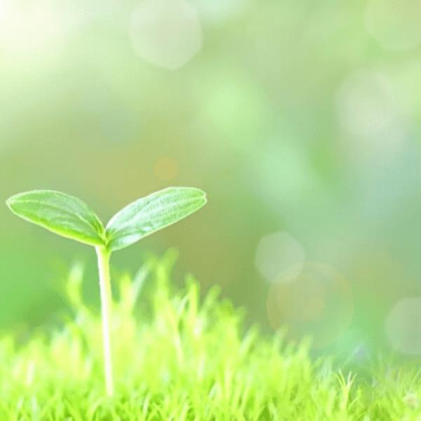 芝生の中から一輪の三つ葉
